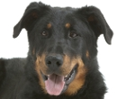 Beauceron - Bas Rouge