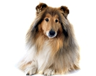 Collie (rough/smooth)
