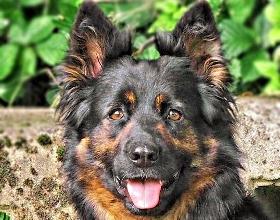 Chodenhund