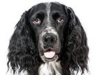 Großer Münsterländer Vorstehhund