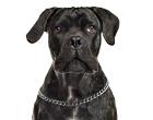 Italian Corso Dog
