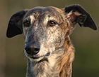 Spanish Greyhound (Galgo)