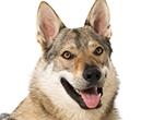 Tschechoslovakischer Wolfhund