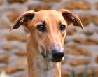 Hungarian Greyhound (Magyar agár)