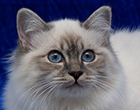Birman (Sacred cat of Burma)