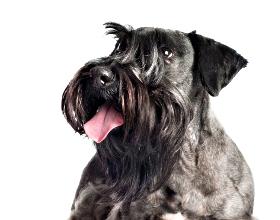 Ceský Terrier