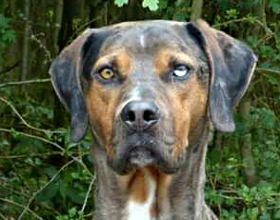 Catahoula Leopard Dog (Louisiana)