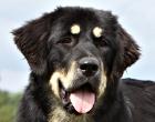 Do-Khyi (Tibet Mastiff)