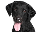 Curly Coated Retriver