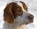 Irisher Red and White Setter
