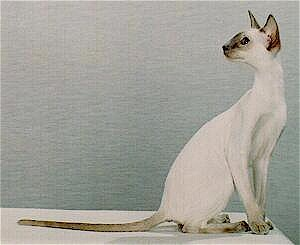Katze mit Gangliosidose